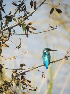 king-fisher birding tour in Israel